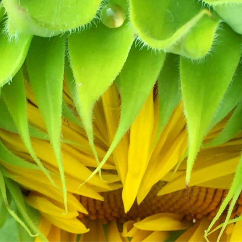 A sunflower about to open with a dew droplet on top.